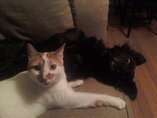 """Ziggy was """"making biscuits"""" on Candy's shoulder till he heard the camera click"""