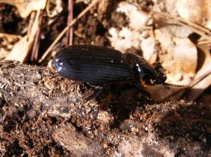 Bess Bug 1